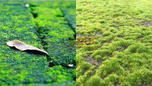 Cách Tẩy Rong Rêu Trên Nền Gạch, Xi Măng Hiệu Quả, ROC